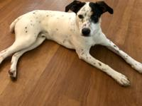 Tyler is a super sweet young male rat terrier/border