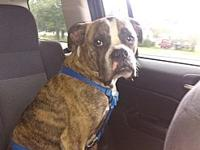 Tyson's story Primary Color: Brindle Secondary Color: