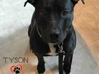 Tyson, the 1 yr 10 month old black lab/pit bull terrier