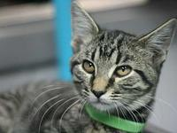 Tyson's story Adoption fee for cats is $65.00 which