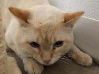 Tyson is a gorgeous, one year old flame-point siamese.