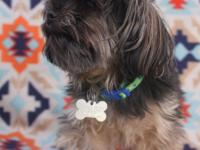 Tyson is a tiny 6 year old yorkie/shihtzu mix who is