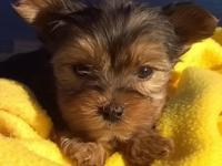 U.C.A. Register Yorkshire Terriers Puppies 1 Female and
