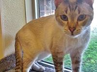 U2's story U2 is a 2 1/2 year old seal point Siamese