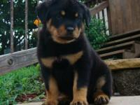 ujshndgf Rottweiler puppies for
