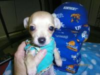 CKC registered, sweet very loving male chihuahua who