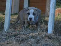 This Beautiful litter is sired by UKC GRCH Freeway,