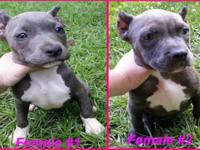 Stunning Blue American Bully Females Ready for their
