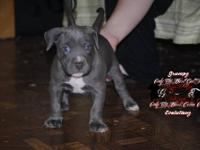 American bully .. Blue nose puppy.. they will be 8 wks