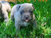 We still have 4 male puppies available. Pictured at 5