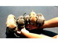 UKC & ABKC register american pit bull puppies available