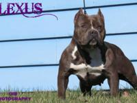 I have an american bully up for sale. She is good with