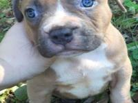 I have 3 Bully pups left looking for new homes. They