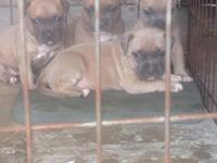 Fullblooded UKC/ABKC blue fawn pitbull puppies. Mother