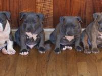 PUPPIES AVAILABLE !! ** PURPLE RIBBON ** POCKET