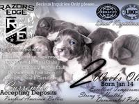 Puppies for sale!!! Dual Registered: UKC & ABKC 7 boys