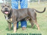 Tri color XL American Bully for sale. He turned 3 years