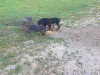 AKC/UKC pure breed puppies for sale.. Do not have