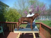 3yr old male Redbone Coonhound. He is a UKC Bench Show