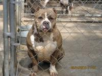 HI ;) MY NAME IS LUSHEZZ, I AM A 3YR OLD AMERICAN BULLY