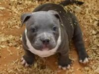I have second pick UKC registered American Bully Male