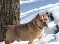 I have this Phenomenal 11mo old American Bully male for