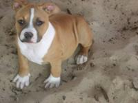 ukc fawn and white american bully pit puppy for sale.