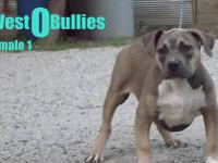 American Bully Pups For Sale!!! Texas Cartels Peewee