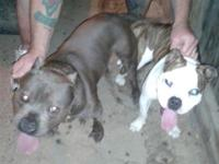 "Dam; Gottiline (Brindle & & White )is 13"" at the"