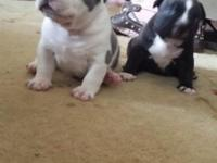 I have 1 female American bully pup left. She is white