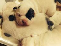 Lil Minion x Loo Loo puppies. 2 males offered. CH