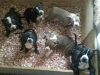 american bully pups for sale 9 weeks old come with