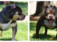 Hello i am selling a male tri-colored american bully a