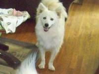 Flurry is a 1 year old UKC American Eskimo, he was born