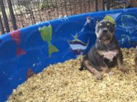 UKC American Pitbull Terrier Pups. They make 8 weeks
