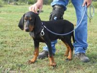 UKC registered Black and Tan Male Coonhound puppy. Born