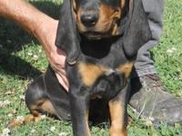 UKC registered Black and Tan Coonhound puppies. 1 kid 1