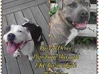 Njad Productions present UKC Envy and UKC Deuce Pups !!