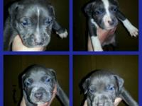 UKC register blue pitbull pups ... Dogs will prepare
