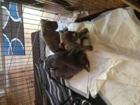 I have 7 American Bully Blue Nose pups 2 males 5