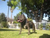 Description Blue nose pit bull terrier pups for sale;