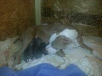 I have four males and four female blue Nose puppies for