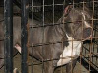 I have 4 female and 2 male UKC Registered Blue Pitbull