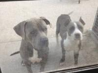 Ukc blue pups born on 08-30-13 looking for good homes