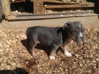Ukc registered pitbull pups ready to go to new home for