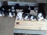 Boston Terrier Puppies ready for Christmas! They are