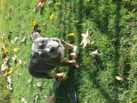 Very good looking bullies puppies MOM is in HEAT ITS