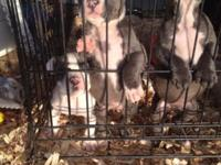 Purebred UKC bully blue puppies. 2 males and 2 females.