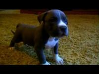 ukc american bully puppy available has 2 sets of shots