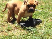 I have a UKC Male Bully puppy. Compact and good. Brief